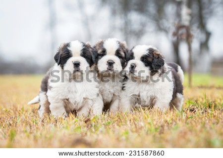 Three saint bernard puppies sitting outdoors - stock photo