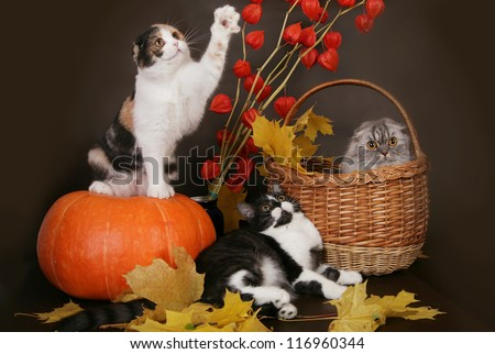 Three Scottish cat with pumpkin in autumn still life. - stock photo