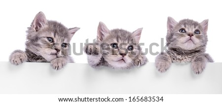 three Scottish kitten holding a billboard. animals isolated on a white background - stock photo