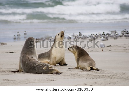 Three sea lions on the beach at Kangaroo Island, South Australia