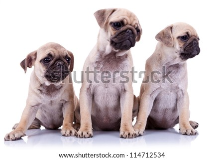 three seated pug puppy dogs looking curiously to a point to their side