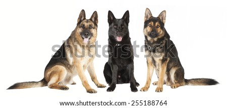 three seated shepherd dogs in different colors against white background