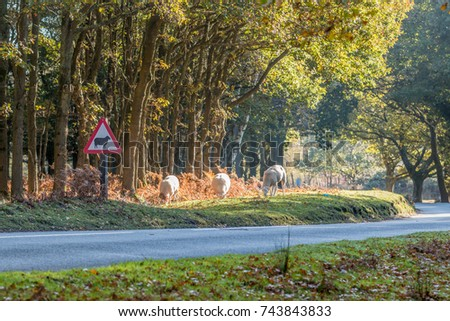 Three sheep grazing by the side of the road next to a road sign warning drivers of the danger of sheep in the Ashdown Forest.