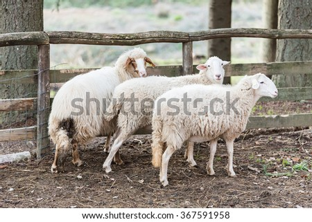 Three sheep in close to the fence looking towards the photographer