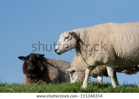 Three sheep on a dike