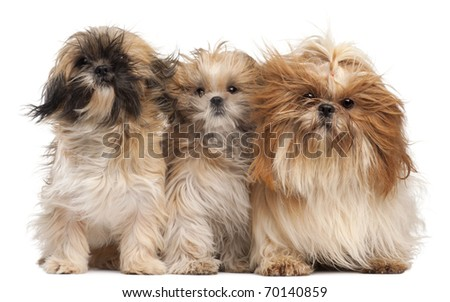 Three Shih-tzus with windblown hair in front of white background - stock photo