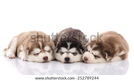 Three siberian husky puppies sleeping on white background isolated