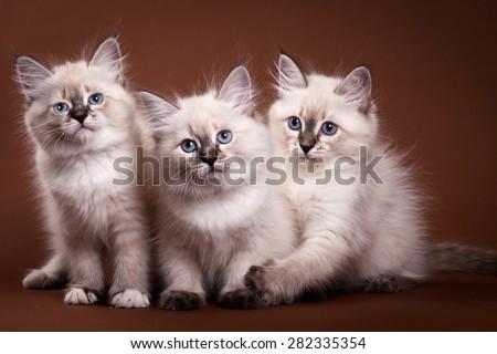 Three Siberian kitten sitting and looking at the camera - stock photo