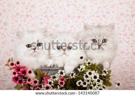 Three Silver Chinchilla Persian kittens sitting in blue basket with pink and white small flowers on floral background