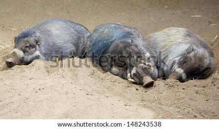 Three sleeping Sleeping North Sulawesi babirusa, an Indonesian pig - stock photo