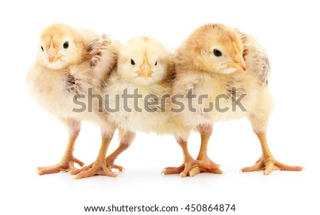 Three small chickens isolated on white background. - stock photo
