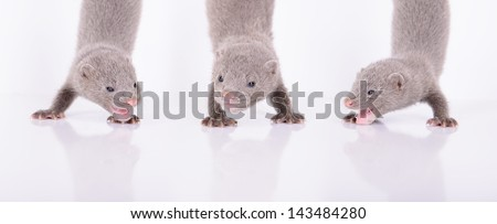three small gray animals mink stand on the front paws. on a white background - stock photo