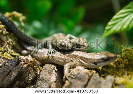 Three small lizards in nature. Season photo.