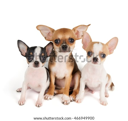 Three small puppies of Chihuahua isolated on white
