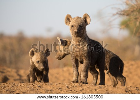 Three small spotted hyena pups standing in the sun outside their sandy den - stock photo