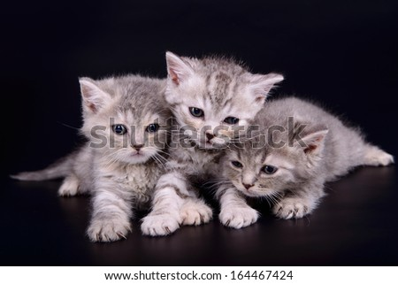 three small striped kittens Scottish marble breed. animals isolated on black background - stock photo