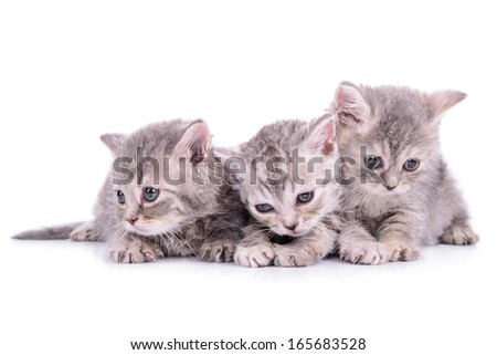three small striped kittens Scottish marble breed. animals isolated on white background