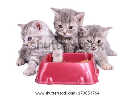 three small striped Scottish kittens eat diet food. animals isolated on white background