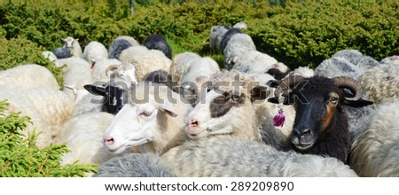 Three smiling sheep in the pasture (white and black) - stock photo