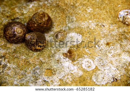 Three snails on a  rock in shallow waters - stock photo