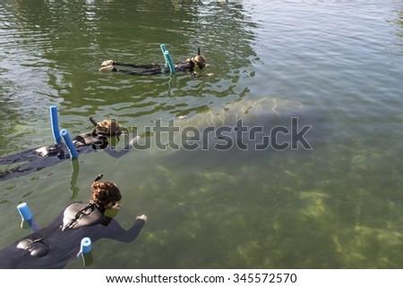 Three snorkelers watching a manatee - stock photo
