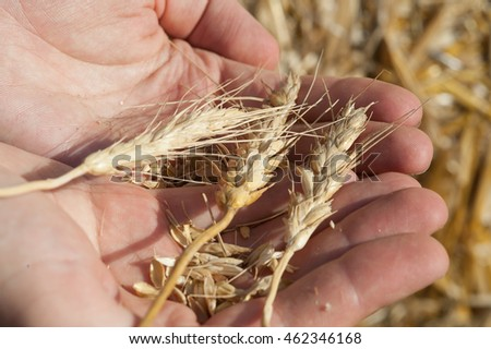 three spikelets of wheat in hand of the person