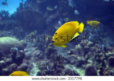 Three-spot Angelfish (Apolemichthys trimaculatus) swimming over tropical reef.