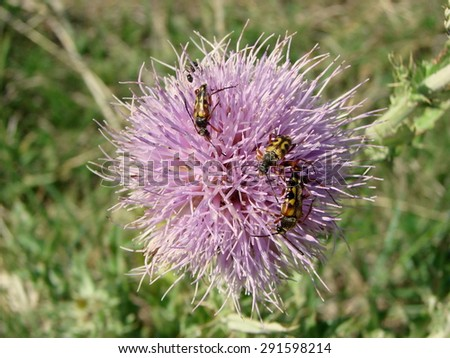 Three spotted longhorn beetles on a thistle - stock photo