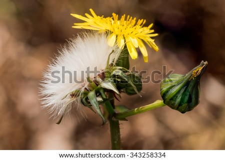 Three Stages of a Dandelion All Together.  Bright yellow bloomed flower next to white poofy seeded flower, and flower bud. - stock photo