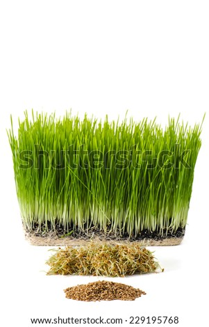 Three stages of wheatgrass plants including wheat berries, wheat sprouts, and wheatgrass - stock photo