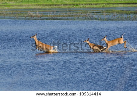 Three Startled Deer Running and Leaping Through the Water