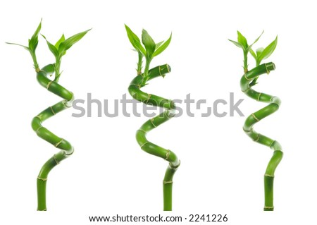 three stems of lucky bamboo isolated on white background - stock photo