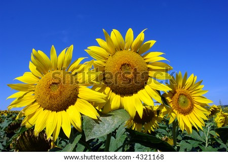 three sunflowers in front of the sunflowers field
