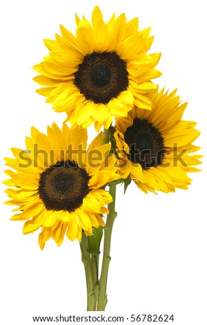 Three sunflowers in tight bundle isolated on white