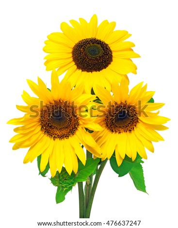 Three sunflowers isolated on white background. Flower bouquet. The seeds and oil. Flat lay, top view. Texture
