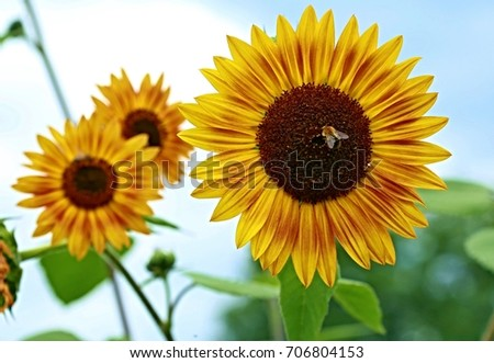 Three sunflowers with blue sky in the background