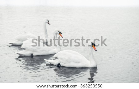 Three Swans in calm misty lake water - stock photo