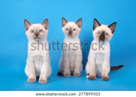 Three thoroughbred kittens of beige color with dark noses sit forward on a blue background.