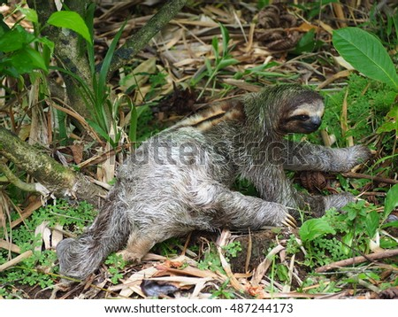 Three toad sloth on the ground