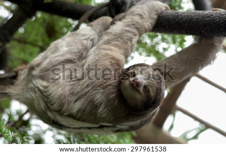 Three-toed sloth (family Bradypodidae) hanging from rope in enclosure, with food smeared on its nose.