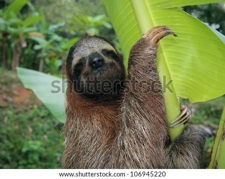 Three-toed sloth in a banana tree, Costa Rica - stock photo