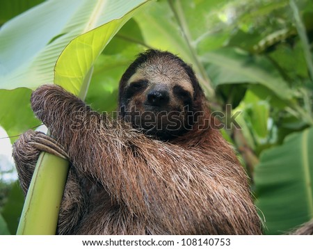 Three-toed sloth in a banana tree, Costa Rica, Central America
