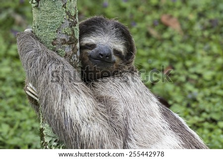 Three-toed sloth in Costa Rica - stock photo