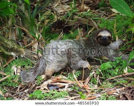 Three toed sloth on the ground