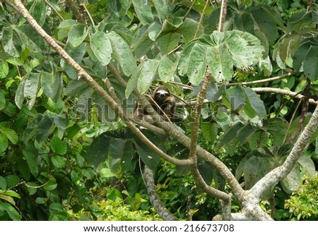 Three toed sloth resting over a branch close to Canopy Tower lodge, Soberania National Park, Panama - stock photo