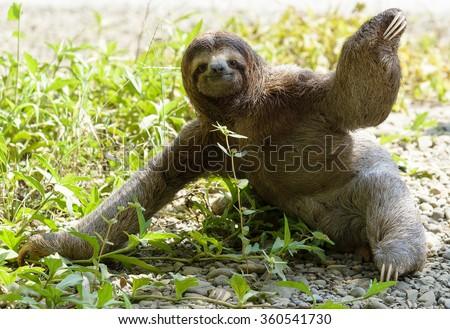 Three-toed sloth sitting on ground - stock photo