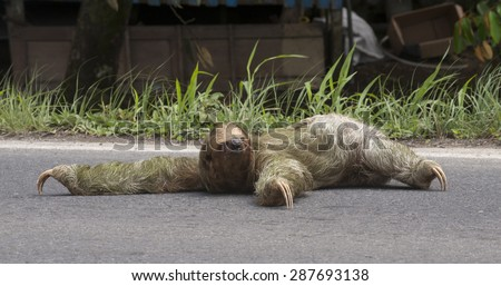 Three-toed sloth tries to cross a busy road.  Built for life in the tree canopy, sloths can not walk on all four legs.  This female is trying to crawl across the road..    - stock photo