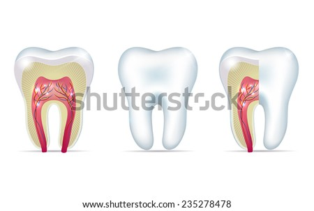 Three tooth anatomy illustrations on a white background - stock photo