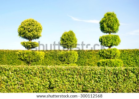 Three topiary green trees with hedge on background in ornamental garden. Vibrant summertime outdoors image. - stock photo