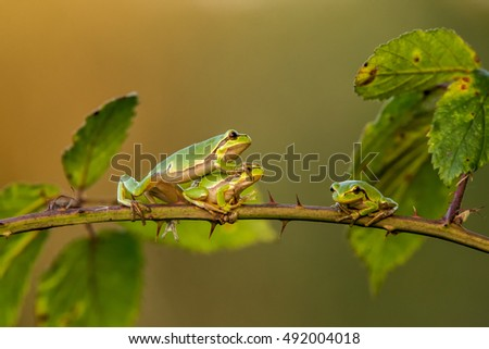 Three Tree Frogs on a branch